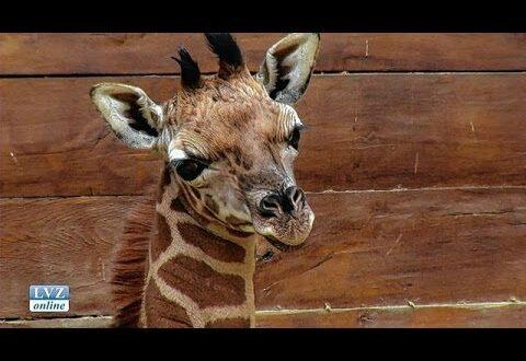 Neue Babygiraffe im Leipziger Zoo