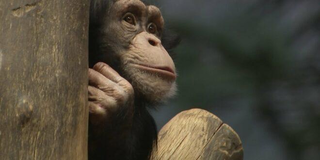 Neuer Schimpanse in Leipzig