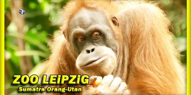 🔴 Orang-Utan • LEiPZiG ZOO • Pongoland / Affen / Tiere / зоопарк #IchOhneBild