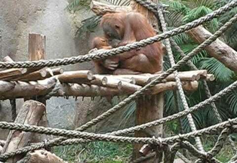 Orang-Utan Zoo Leipzig - Bedürfnisse erfüllt