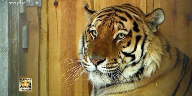 Tiger Aljoscha macht einen Kurzurlaub in Leipzig