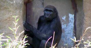 Zoo Leipzig 2012 - Gorilla - Teil 2 von 2